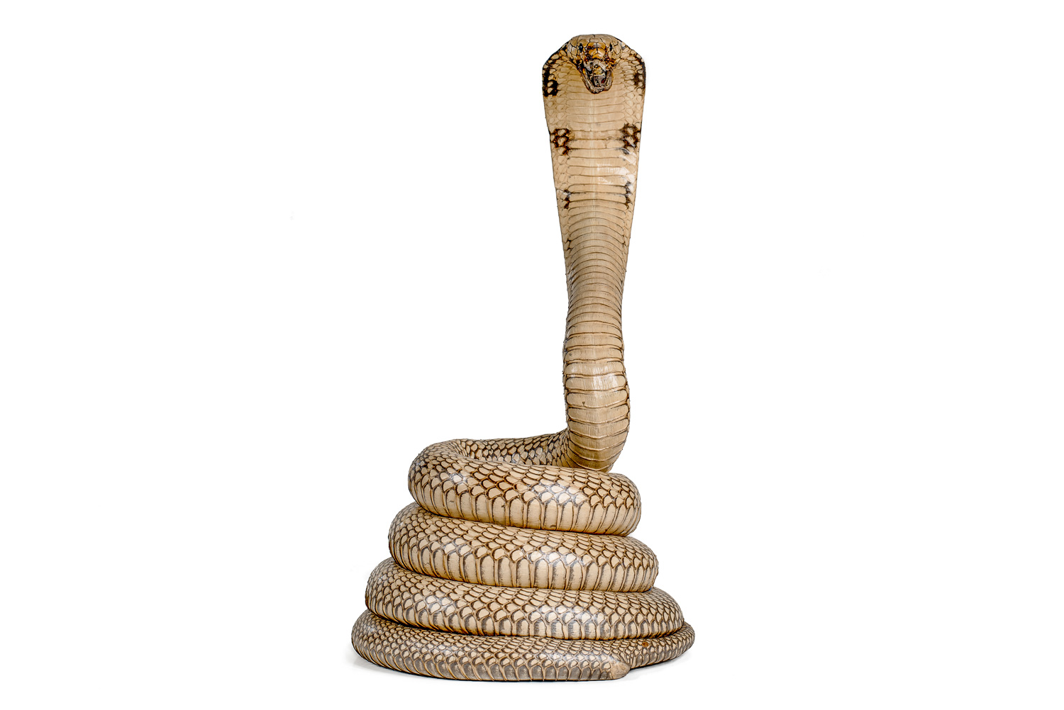 Leather King Cobra Mount Taxidermy, 12ft Snake
