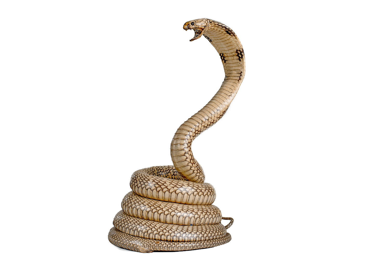 King Cobra Mount Taxidermy, 12ft Snake