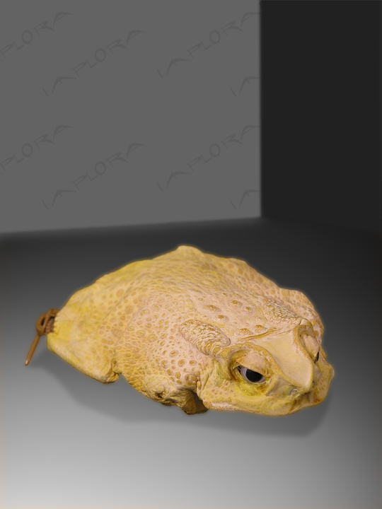 Frog Skins Implora Yellow Frog Skin Coin Pouch Wallet