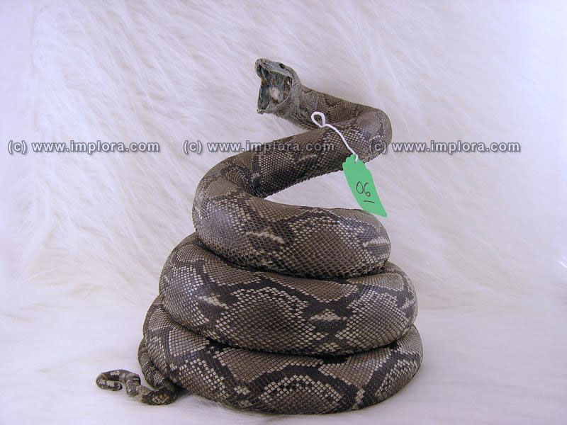 Leather Python Skin Taxidermy Mount Stuffed 9.92 ft Large