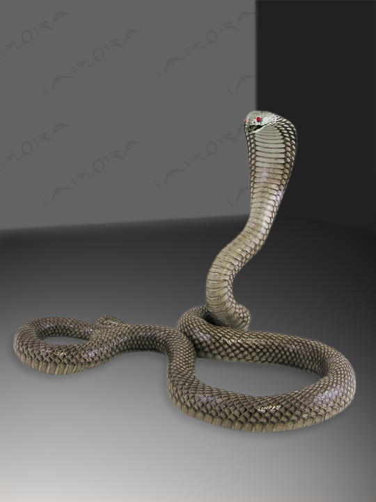 Leather Asian Spitting Cobra Strike Taxidermy Mount