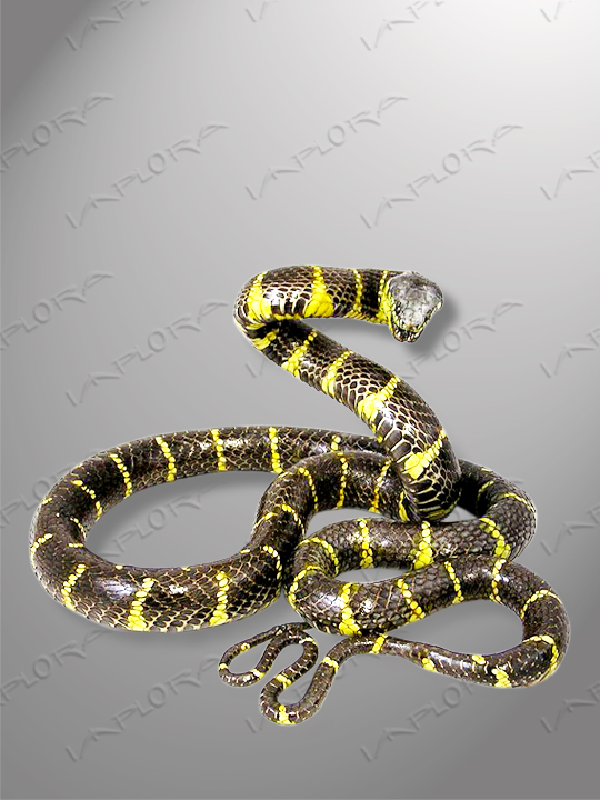 Leather Mangrove Snake Taxidermy Mount Style 3