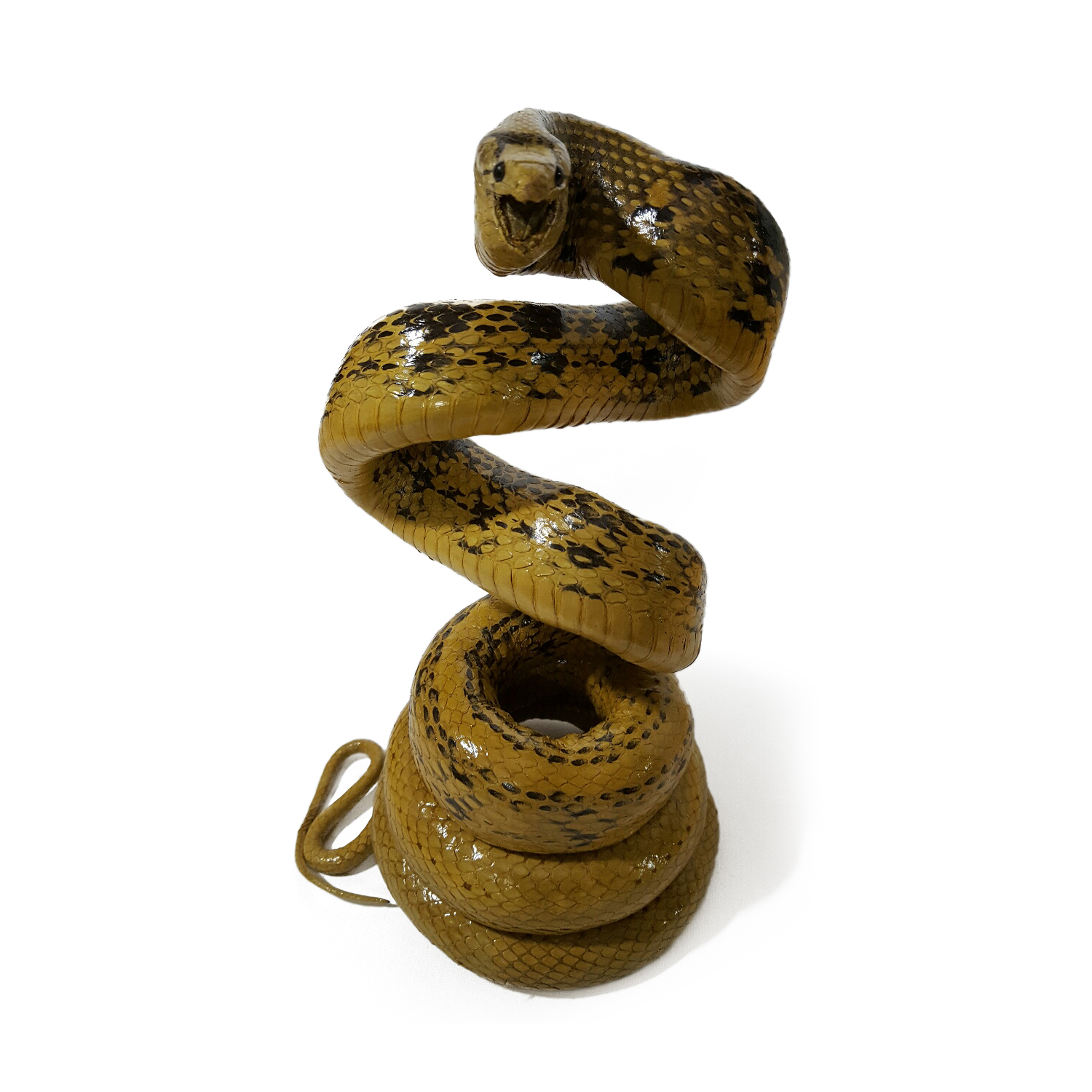 Leather Copperhead Racer Snake Coiled Taxidermy Mount