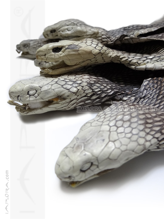Snake skin with Head, Natural